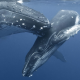 humpback whale, whale, nature, animals, water, sea, underwater, baby animals, mammals wallpaper
