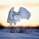 animals, owl, snow, winter, sunset wallpaper