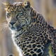 animals, leopard wallpaper
