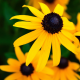 nature, flowers, yellow flowers, macro wallpaper