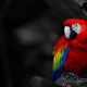 birds, parrots wallpaper