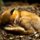 animals, fox, forest, autumn, leaf wallpaper