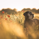 dog, field, flowers, animals, nature, poppy wallpaper