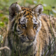 tiger, animals, baby animals wallpaper