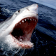 Great White Shark, sea, shark, jaws, animals wallpaper