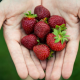 hand, strawberry, fruit, food wallpaper