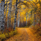 aspen, tree, leaves, path, forest, dirt road, autumn, fall, forest, nature wallpaper