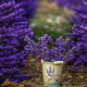 lavender, flowers, photography, nature wallpaper