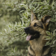 dog, german shepherd, animals, bushes wallpaper