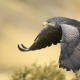 bird of prey, falcon, animals, bird, flying wallpaper