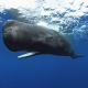 sperm whale, animals, underwater, whale wallpaper