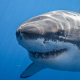 great white shark, shark, underwater, animals,  wallpaper