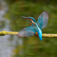 kingfisher, bird, beak, branch wallpaper