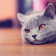 cat, russian blue, animals, eyes wallpaper