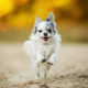 chihuahua, dog, running, snimals wallpaper