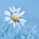 daisy, frost, close-up, macro, flower, nature wallpaper