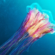 jellyfish, underwater, animals, lions mane jellyfish, giant jellyfish, hair jelly, cyanea capillata wallpaper