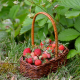 berry, strawberry, basket, grass wallpaper