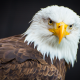 bald eagle, bird, animals, predator wallpaper