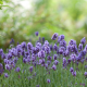 flowers, lavender, nature, bokeh wallpaper