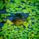 frog, amphibian, animals, pond, duckweed wallpaper