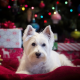 west highland white terrier, dog, holidays, christmas, new year, animals wallpaper