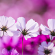 cosmos, flowers, petals, close-up, nature wallpaper
