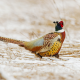 pheasant, bird, teale, frost, winter, snow wallpaper