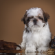 shih tzu, puppy, dog, animals, camera, retro wallpaper