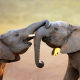 animals, elephants, elephant communication wallpaper