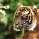 sumatran tiger, tiger, animals, predator, snout wallpaper
