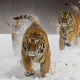 siberian tiger, running, animals, big cat, winter, snow, tiger wallpaper