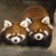 red panda, animals, panda wallpaper