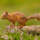 squirrel, heather, log, flowers, nature, animals wallpaper