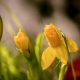 daffodils, bud, sprong, macro, bokeh, flowers, nature wallpaper