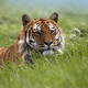 tiger, nature, grass, animals wallpaper