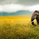 elephants, flowers, yellow flowers, clouds, animals, field wallpaper