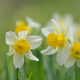 narcissus, daffodils, flowers, bokeh, nature wallpaper