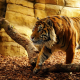 tiger, sunlight, animals, wild animals wallpaper