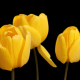 yellow tulips, flowers, nature wallpaper