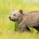 brown bear cub, bear, grass, walking, animals wallpaper