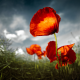 poppy, red, grass, sky, close-up, nature, flowers wallpaper