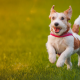 jack russell terrier, puppy, dog, happy, mood, grass, animals wallpaper
