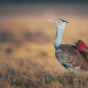 arabian bustard, riders, nubian eaters, birds, animals, northern carmine bee-eater, bee-eater wallpaper