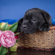 cane corso, dog, animals, basket, flowers, peony, puppy wallpaper