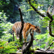 animals, tiger, forest, nature wallpaper