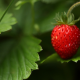 strawberry, berry, bush, closeup, macro, food wallpaper