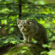 cat, kitten, forest, spruce, stone, hunter, animals wallpaper