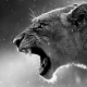 lioness, jaws, teeth, lion, animals wallpaper
