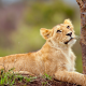 lion cub, lion, animals, wild cat wallpaper